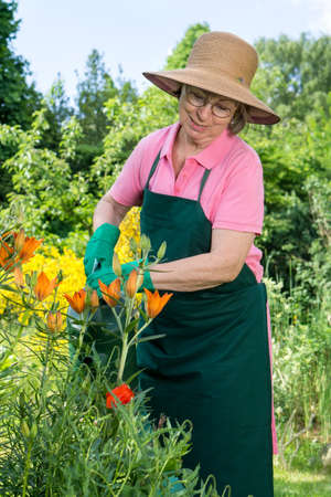 tends: Middle-aged woman smiling with pleasure standing watering orange lilies in the garden using a watering can as she tends to the spring plants in her backyard Stock Photo
