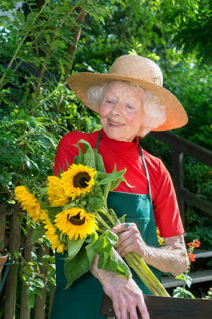 Single adorable senior female gardener in hat  red shirt and green apron with freshly cut bundle of sunflowers.