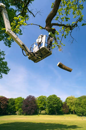 Tree surgeon at work on a cherry picker with the articulated hydraulic arm and cage cutting a large branch on a tree overlooking parkland with the falling branch suspended midair