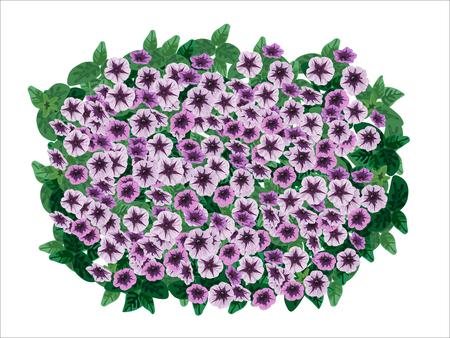 Petunia ornamental flowerpot on white background.