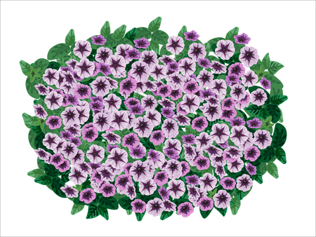 ornamental bush: Petunia ornamental flowerpot on white background.