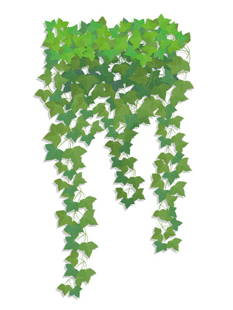 Hanging branches of ivy on a white background. To decorate the balcony facades of buildings, fence, wall.