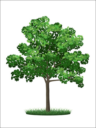 acer: Realistic tree and grass on a white background