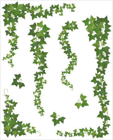 plants: Set of Hanging branches of ivy on a white background (EPS 10 shadow)