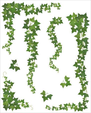 Zestaw wiszące gałęzie bluszczu na białym tle (EPS 10 cień)