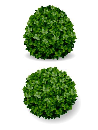 two round bush decorative plant boxwood