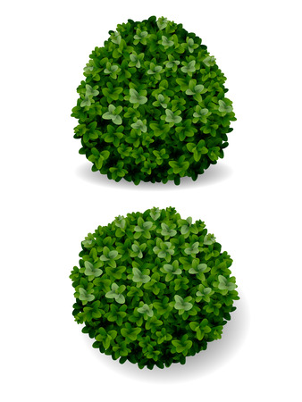 landscaping: two round bush decorative plant boxwood