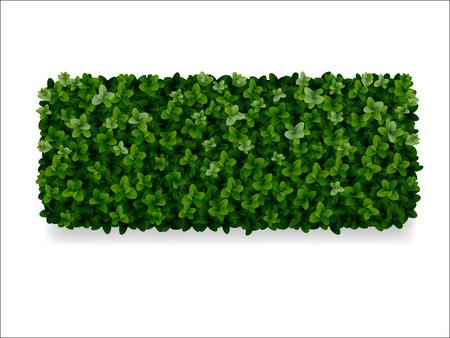 rectangular boxwood shrubs, green fence