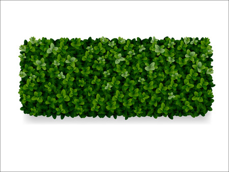 hedges: rectangular boxwood shrubs, green fence