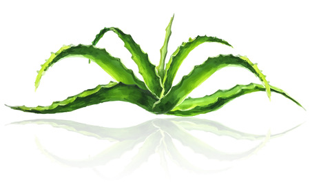aloe vera plant: Bush of aloe vera with reflection on white background, vector illustration in watercolor style. Illustration