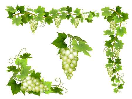 A set of bunches of white grapes. Cluster of berries, branches and leaves. Vector illustration. Stock Illustratie