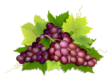 Harvested grapes lying on green leaves. Vector illustration of a seasonal harvest and wine making. Illustration