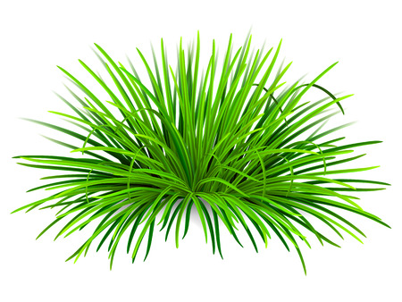 sedge: Bunch of green grass. Vector, isolated on white background.