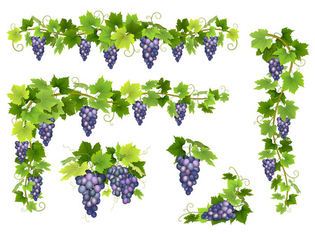 A set of bunches of blue grapes. Cluster of berries, branches and leaves. Vector illustration.