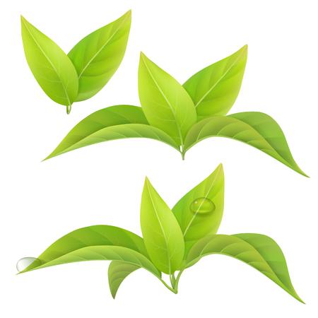 Zestaw zielonych liści herbaty samodzielnie na białym tle z kroplami rosy. Elementy kwiatowe.