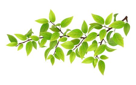Baum-Zweig mit grünen Blättern. Detaillierte Pflanze, isoliert auf weißem Hintergrund. Standard-Bild - 60186634