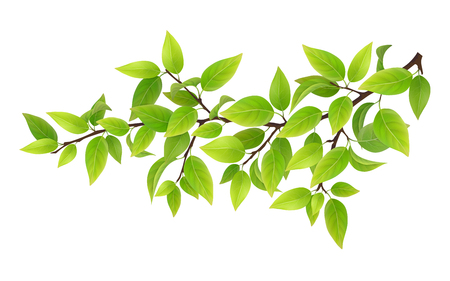 Tree branch with green leaves. Detailed plant, isolated on white background. Illustration