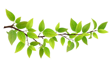 Small tree branch with green leaves. Detailed plant, isolated on white background.