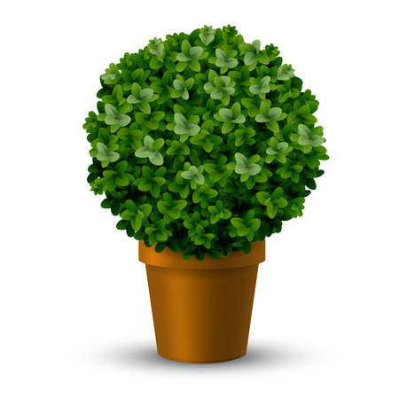 Decorative spherical trimming boxwood in a pot. Topiary plants ornamental garden.