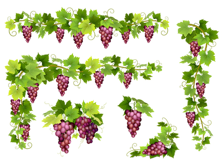 Set of bunches of red grapes. Cluster of berries, branches and leaves. illustration about harvest and wine making.