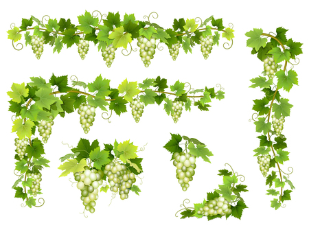 red grape: Set of bunches of white grapes. Cluster of berries, branches and leaves. illustration about harvest and wine making.