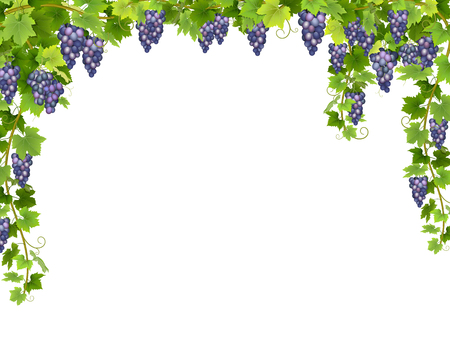 Frame from hanging bunches of ripe blue grapes with branches and leaves. Ilustração