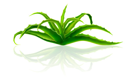 aloe vera plant: Bush Aloe Vera. The plant is used in cosmetics and medicine. Vector Gradient Mesh illustration isolated with reflection.