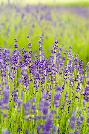 lavande: Field with lavender flowers Stock Photo