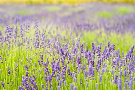 Field with lavender flowers Stock Photo