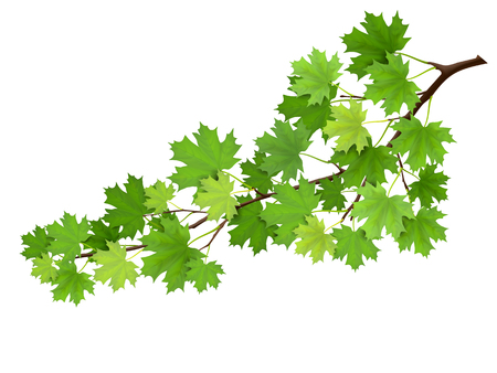 Maple branch with green leaves. Super realistic vector illustration, isolated on white background. Plant element for design cards about nature. Illustration