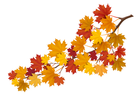 Maple branch with yellow and red leaves. Super realistic vector illustration. Plant element for design autumn cards about nature. Illustration