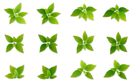 Green leaf set. Leaves of tea or tree. Part of the plant for the design of illustrations on the theme of ecology and healthy eating. Realistic vector, isolated on a white background.