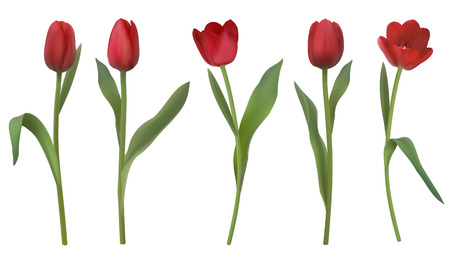 Set of red realistic vector tulip flowers isolated on white background