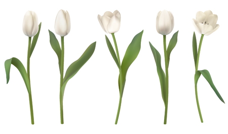 Set of red realistic vector tulip flowers. Isolated on white background. Illustration