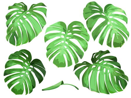 Vector set of isolated leaves tropical plant monstera. Illustration
