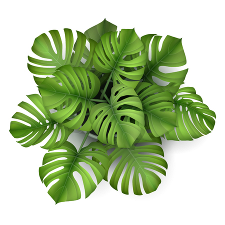 Monstera plant in a pot, top view. Houseplant for decorating the worktop. Vector 3d realistic style. 向量圖像