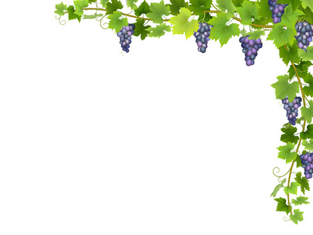 Hanging bunches of ripe blue grapes with branches and leaves. 矢量图像