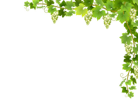 Hanging bunches of ripe white grapes with branches and leaves. Ilustração