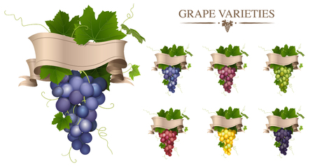 Vector set of grape variety. Bunch of grapes isolated. A bunch of grapes with a ribbon label. Illustration