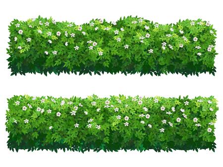 Siepe fiorita di verde del cespuglio. Arbusti di bosso o ibisco.