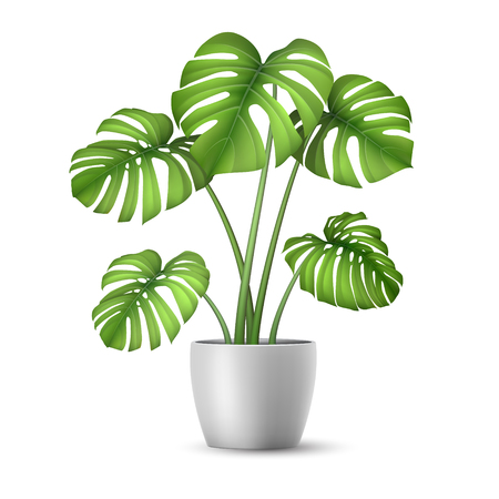 Realistic Monstera in a flower pot.
