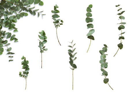 Set of decorative green eucalyptus branches, isolated on white background. With an example of use. Plant for floral design card.