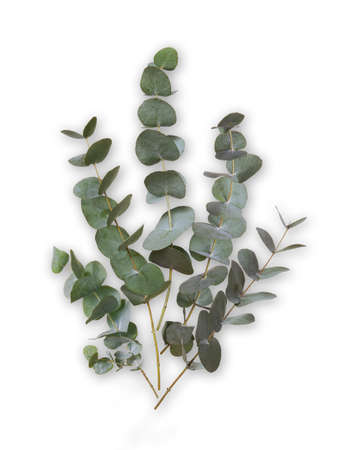 Eucalyptus green leaves and branches isolated on white background. Plant branches to decorate a bouquet or design for a greeting, invitation, posters or wedding card. Stockfoto