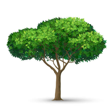 A tree with a dense crown and green leaves. Detailed vector illustration isolated on white background.  イラスト・ベクター素材