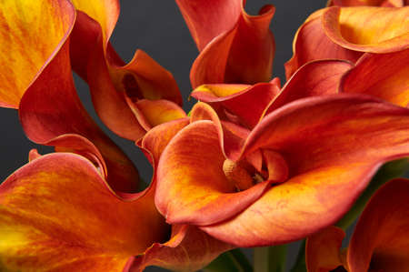 Bouquet of Red and Yellow Calla Lilies on dark background. Close-up photo.
