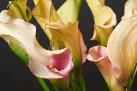 Bouquet of Yellow Calla Lilies on dark background. Close-up photo. Banco de Imagens