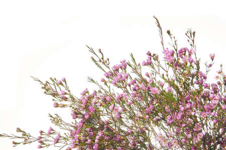 Chamelaucium flower branch border, for floral design of a postcard or banner. Isolated on white background. Banco de Imagens