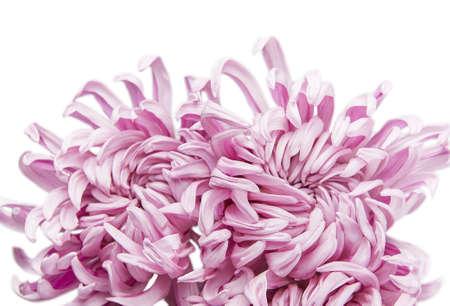 Beautiful flower Chrysanthemum grandiflorum