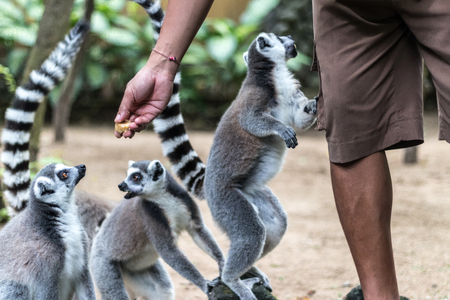 The ring-tailed lemur feeding by a man
