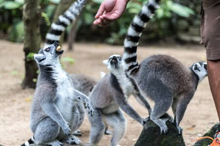 The ring-tailed lemur feeding by zoo worker